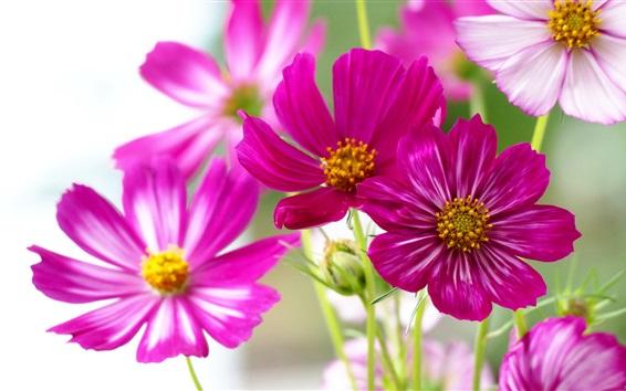 Hintergrundbilder Rosa kosmeya Blumen, weißer Hintergrund