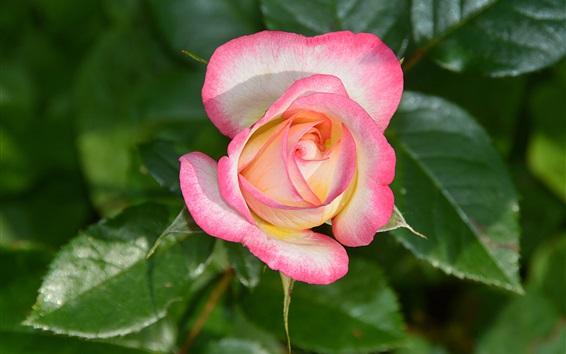 Обои Розовая роза, лепестки, макросъемка цветов
