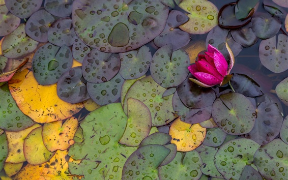 Papéis de Parede Rosa lírio d'água, flores, folhas, gotas de água, depois da chuva