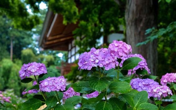 Обои Фиолетовая гортензия, капли воды, сад