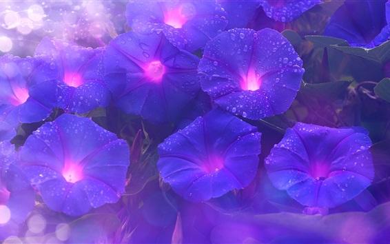 배경 화면 보라색 나팔꽃, 꽃, 물방울