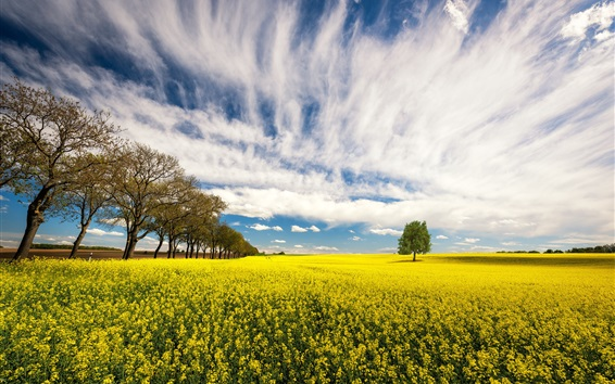 Wallpaper Rapeseed flowers, trees, field, clouds, summer