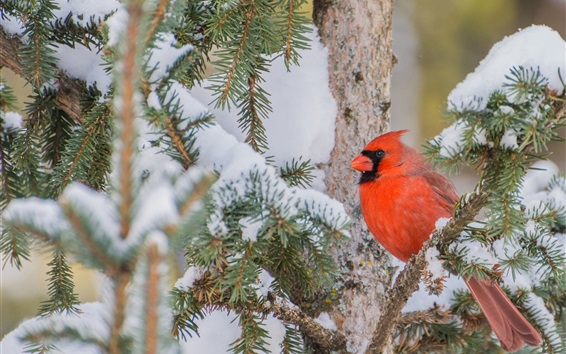 Wallpaper Red cardinal bird, branches, tree, snow, winter
