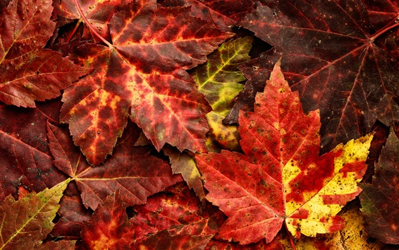 Wallpaper Red maple leaves, autumn