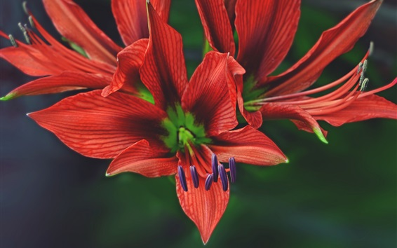 Wallpaper Red petals lily, flower macro photography