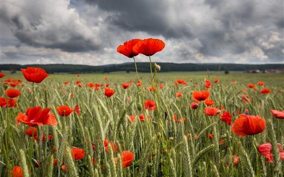 Wallpaper Red poppy flowers field, summer