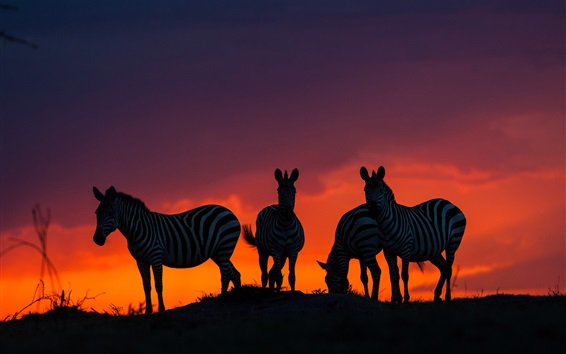 Wallpaper Savannah, Africa, zebras at sunset