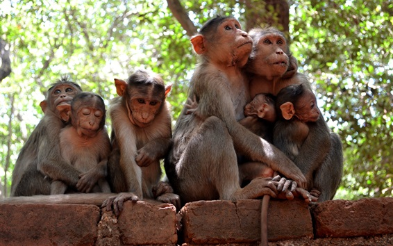 Fondos de pantalla Algunos monos, familia