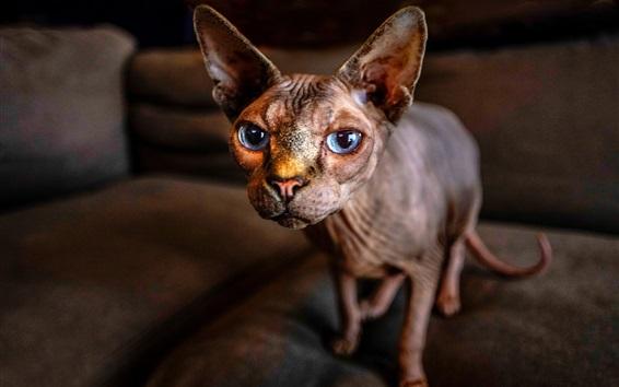 Papéis de Parede Sphynx gato, olhos azuis, bokeh