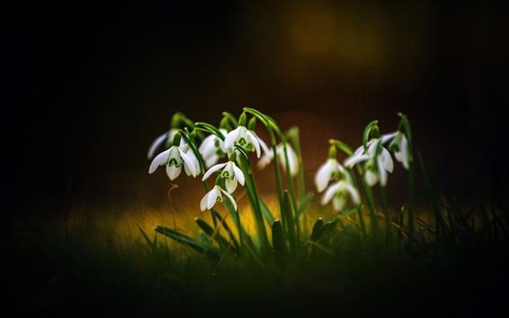 Papéis de Parede Flores da primavera, snowdrops, bokeh