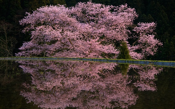 Wallpaper Spring pink flowers, tree, pond, water reflection, night