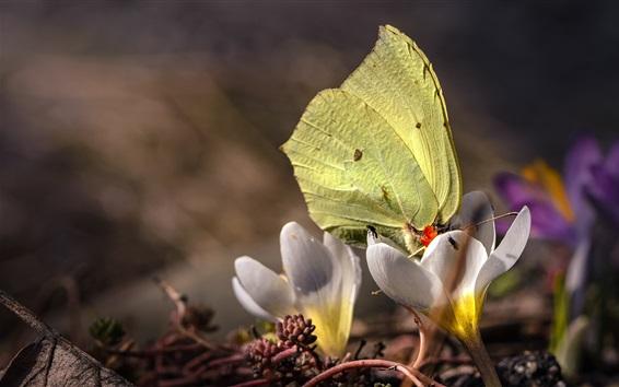 Papéis de Parede Primavera, açafrões brancos, borboleta amarela