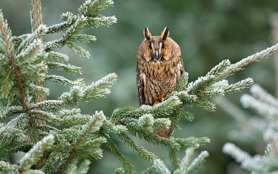 Wallpaper Spruce twigs, owl