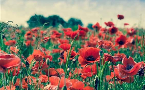 Papéis de Parede Flores de verão, papoula vermelha