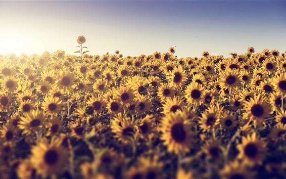 Wallpaper Summer, sunflowers, sunshine