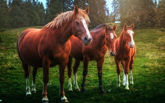 Обои Три коричневые лошади, трава