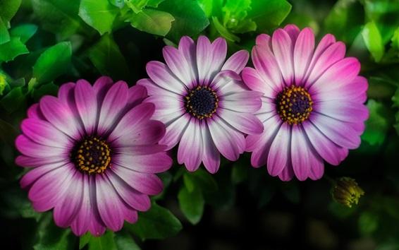 Papéis de Parede Três flores de osteospermia, pétalas rosa-brancas