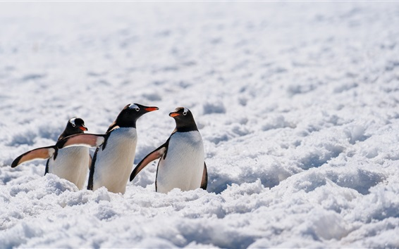 Wallpaper Three penguins, wildlife, snow, Antarctica