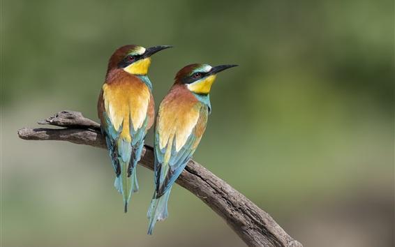 Wallpaper Two birds, bee-eaters