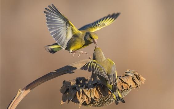 Обои Две птицы, сухой подсолнух