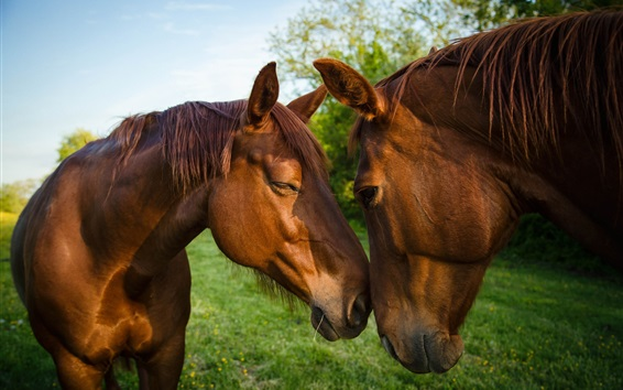 Wallpaper Two brown horses, friendship