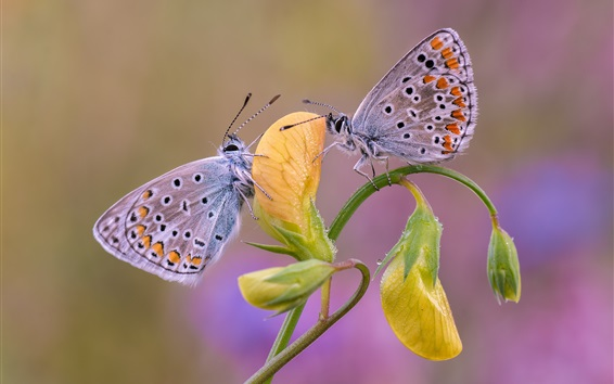 Wallpaper Two butterflies, yellow flower