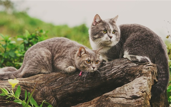 Wallpaper Two cute cats rest