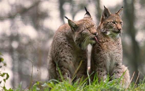 Papéis de Parede Dois gatos selvagens cinzentos