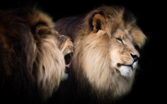 壁紙 2つのライオン、家族、黒い背景
