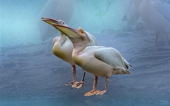 Fond d'écran Deux pélicans, oiseaux
