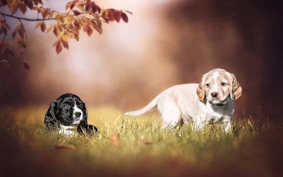 Papéis de Parede Dois cachorros, cachorrinho, grama, bokeh