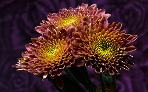 Wallpaper Two-tone petals chrysanthemum, yellow and purple