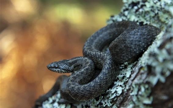 Papéis de Parede víbora, cobra preta