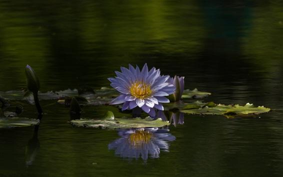 Wallpaper Water lily, blue flowers, summer