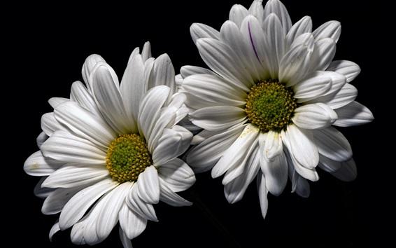 Wallpaper White chamomile flowers, black background