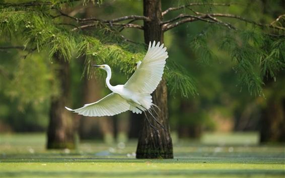 Papéis de Parede Vôo de garça branca, asas, árvores