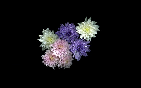 Wallpaper White, pink, purple chrysanthemum, black background