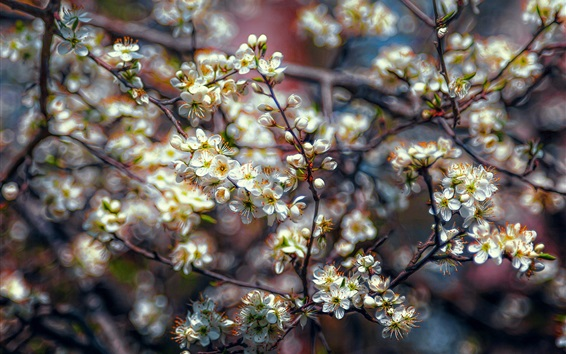 Обои Цветки белой сливы, дерево, весна