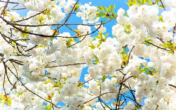 Wallpaper White sakura bloom, spring, tree