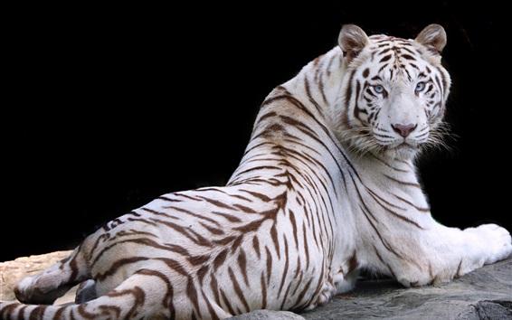 Wallpaper White tiger, look back, rest, blue eyes