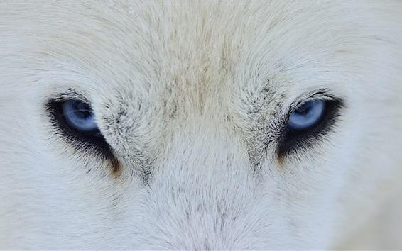 Papéis de Parede Lobo branco olhos azuis, vista frontal