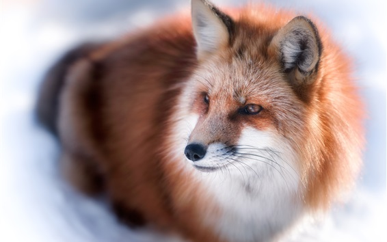 Wallpaper Winter, red fox look at side