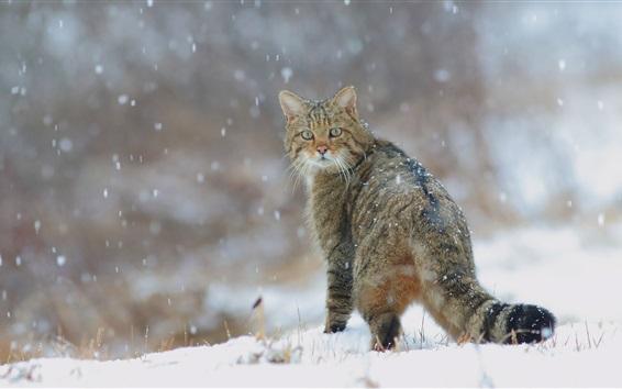 Wallpaper Winter, snow, wild cat look back