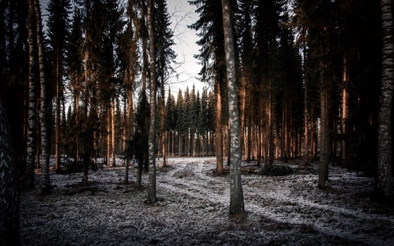 Wallpaper Winter, trees, spruce, frost