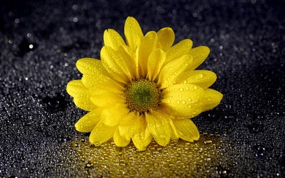 Fondos de pantalla Crisantemo amarillo, pétalos, gotas de agua