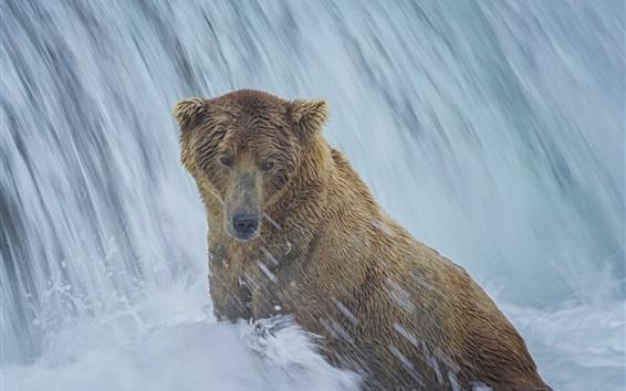 Обои Аляска, медведь, водопад