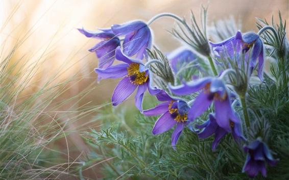 배경 화면 말미잘, 수면 - 잔디, 자주색 꽃