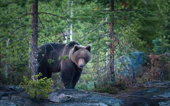 Papéis de Parede Urso, floresta, depois da chuva