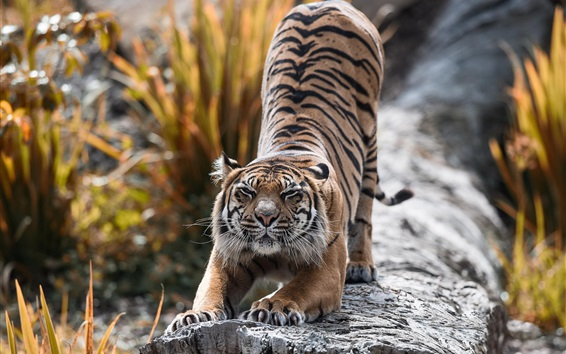 Fond d'écran Bête, tigre, étirement