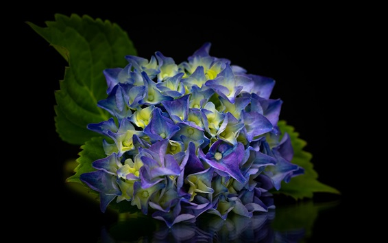 배경 화면 아름다운 푸른 꽃, 수국